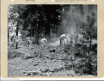 555th Parachute Infantry troopers use shovels near forest fire by Edgar W. Weinberger and United States. Army Air Forces