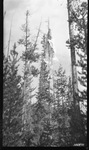let down from Dead lodgepole pine by David P. Godwin
