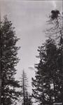Parachute descent toward timber by David P. Godwin